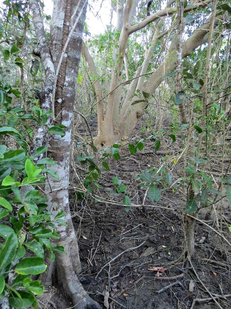 Mangrove ecotone