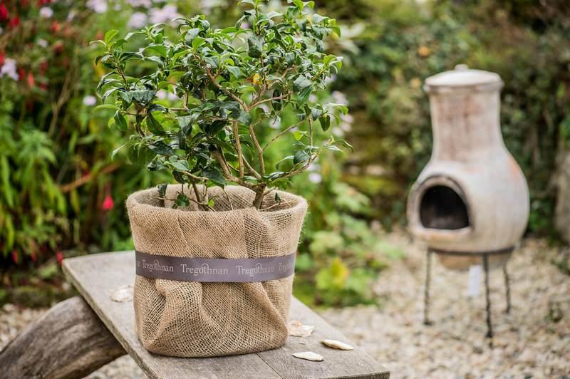 Planta de te (Camelia sinensis) envuelta en tela de saco para regalo