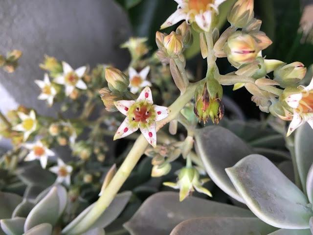 Planta-Fantasma (Graptopetalum paraguayense)