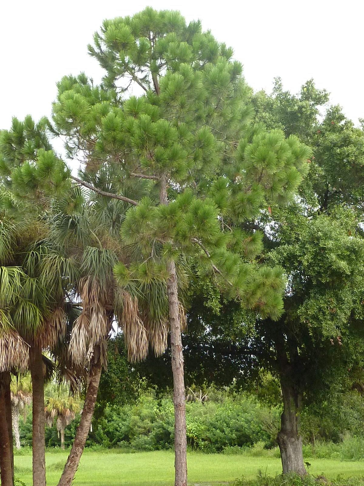 Skip's Florida: Florida's Mystery Tree