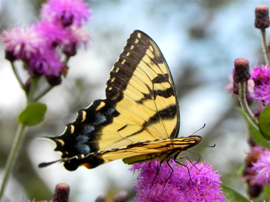Power Of The Flower Swallowtail Butterflies Yellow And