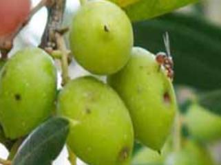 La mouche de l'olivier : Dacus oleae