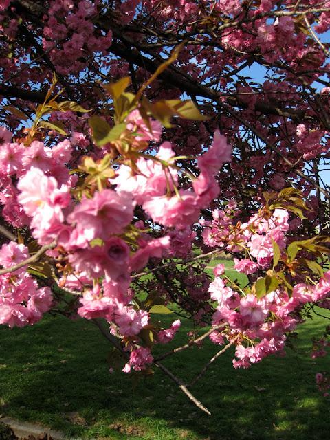Фото Виталия Бабенко: цветёт сакура