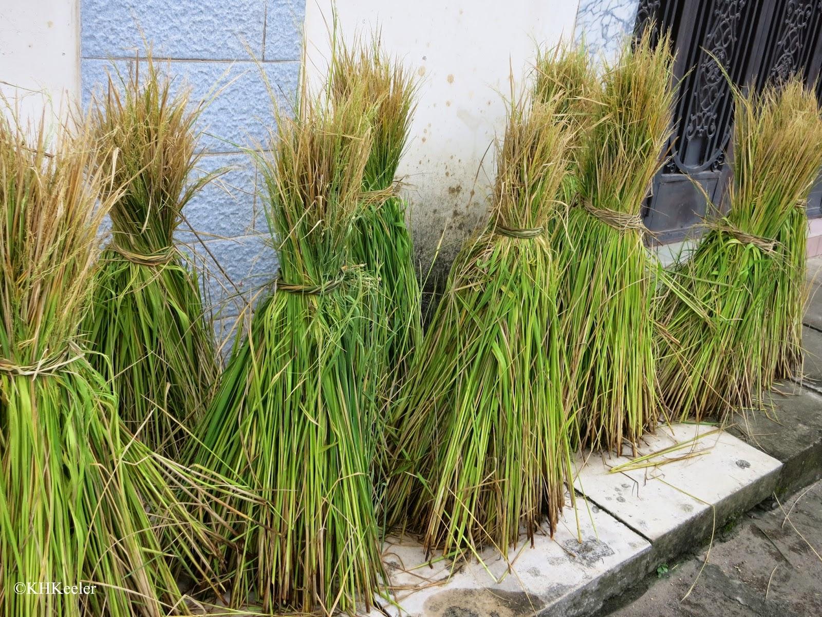 rice straw drying