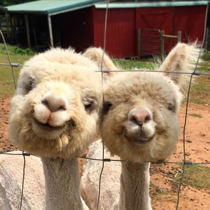 30 Adorable Alpacas That Made Our Day Happier