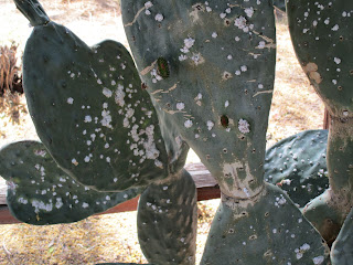 Nopal pads with fuzzy cotton-like white spots.