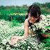 Nhanh nhanh đến với làng hoa Tây Tựu chiêm ngưỡng những bông cúc họa mi đang vào mùa