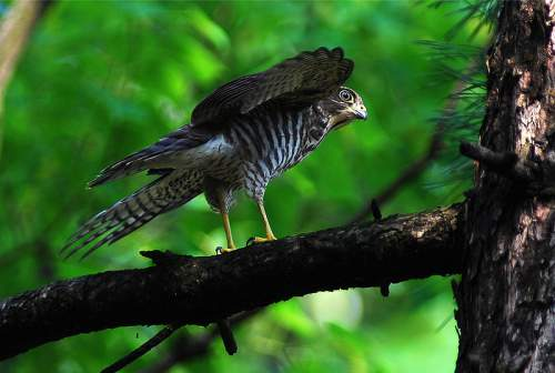Indian birds - Image of Japanese sparrowhawk- Accipiter gularis