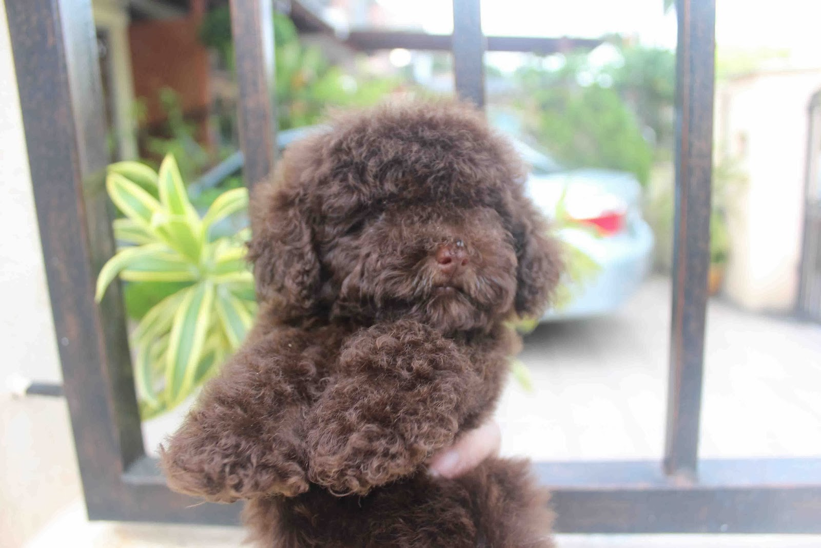 Lovelypuppy 20131212 Chocolate Tiny Poodle Puppy With Mka Cert