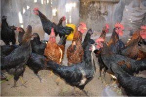 dosis viterna plus untuk ternak ayam jawa