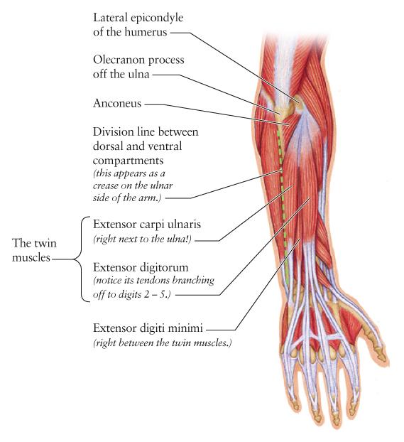 Human Anatomy for the Artist: The Dorsal Forearm, Part 1 ... |Dorsal Arms