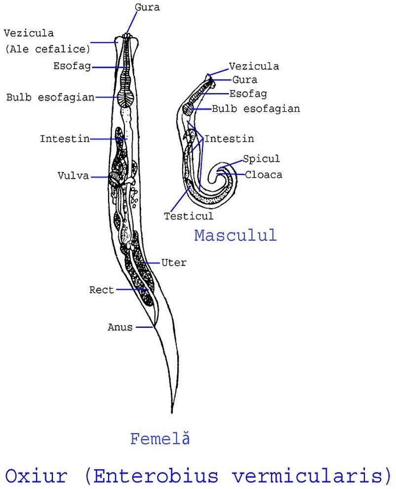 Enterobius vermicularis hembra y macho