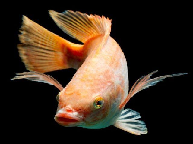 Mengenal Ikan Nila