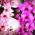 Anggrek Larat Setara dengan Sakura di Jepang