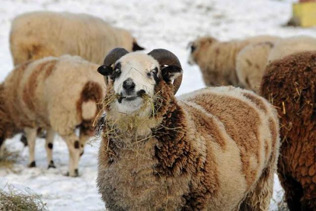Manada de ovejas marihuanas aterroriza todo un poblado