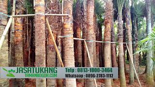 Jual Pohon Palem Sadeng,Jual Pohon Livistona Rotundifolia,Jual Pohon Palem Berbagai Ukuran