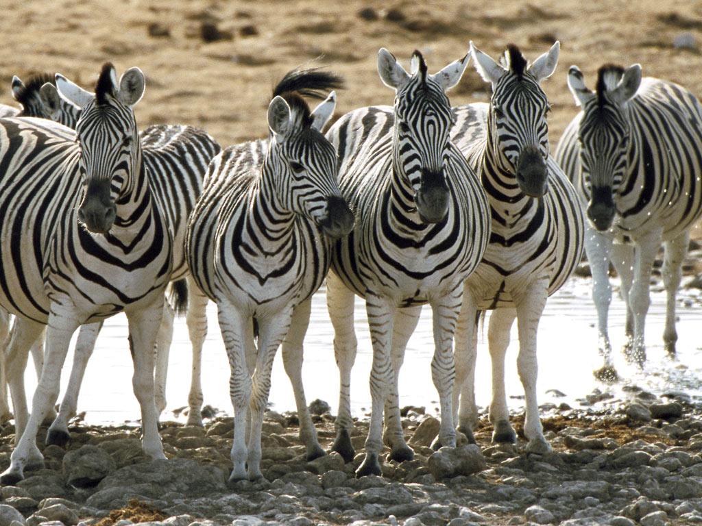 zebra zebras biggest animals animal king hearing ears horses