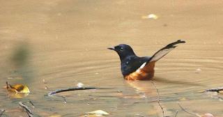 Harga Burung Murai Nias
