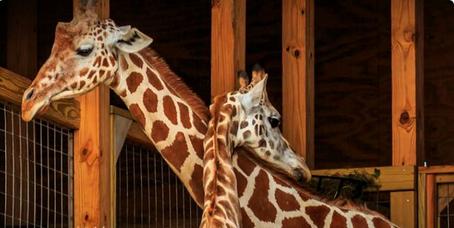 April The Giraffe Kicks Vet