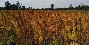 किनोवा (बथुआ) की खेती से करें मोटी कमाई