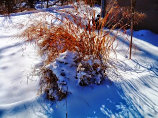 Fountain grass garden in winter