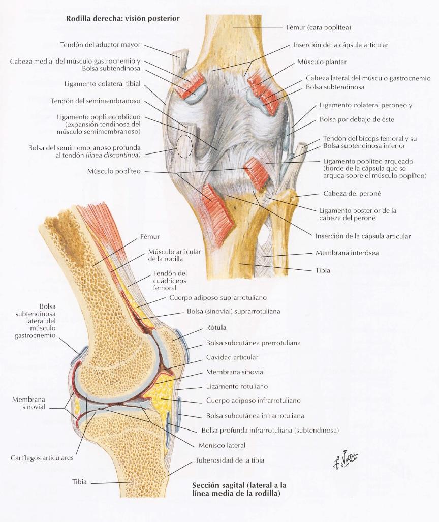 Artrología Miembro Inferior - Kinesiología para Estudiantes