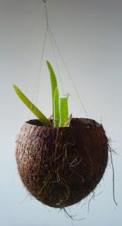 Aloe vera en coco