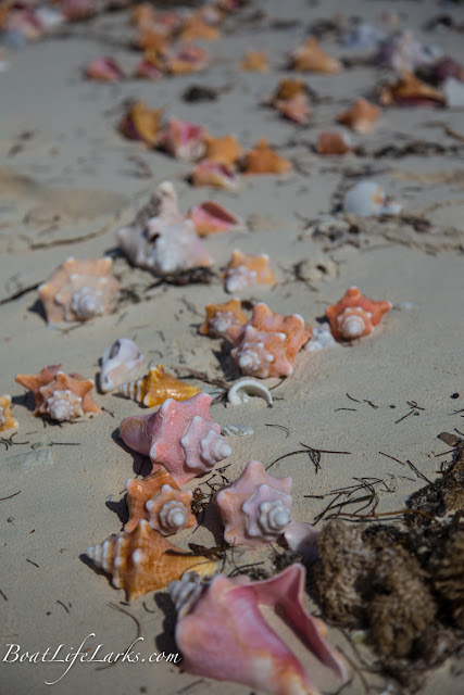 Conch shells on the beach, Bahamas