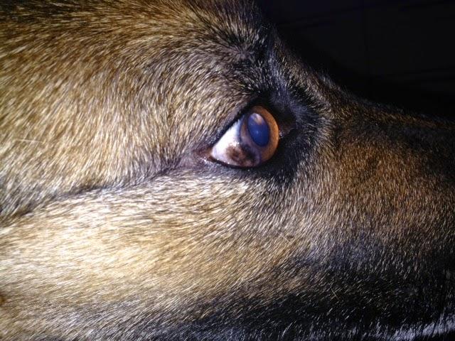 koiran silmäsairaus pannus