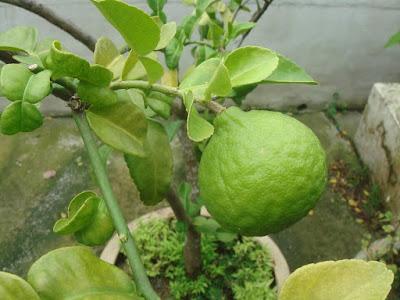 7 Manfaat Kulit Jeruk Purut untuk Kesehatan