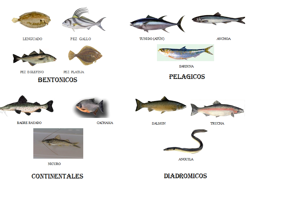 Clasificacion de pescados azules y blancos