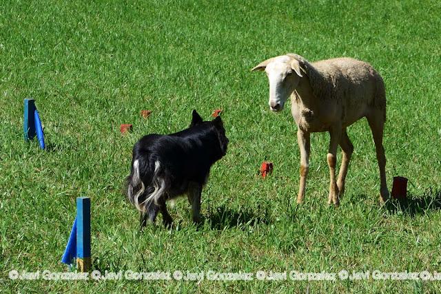 Perros pastor en el Pallars Sobirà