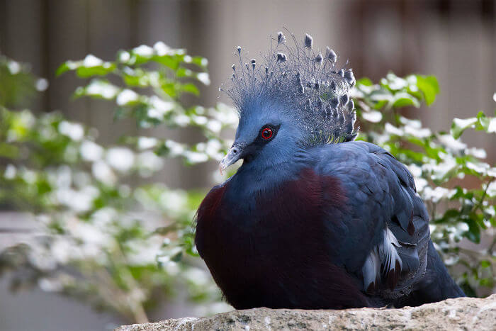 Meet The 'Victoria Crowned Pigeon', One Of The Most Stunning Birds Ever