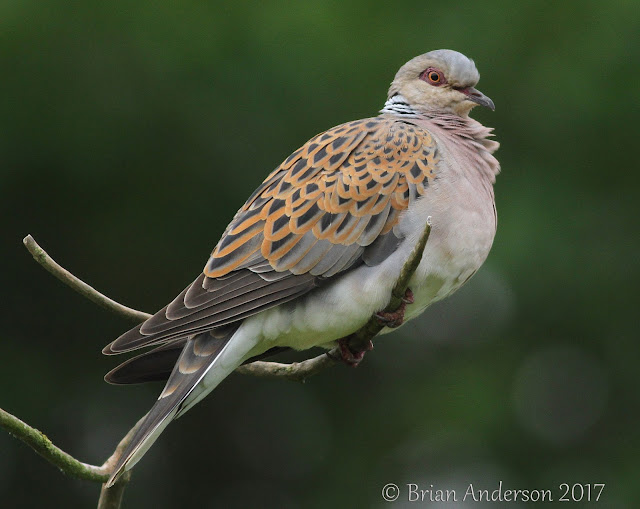 Turtle Dove at Titchwell