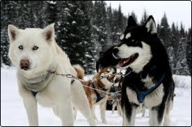 grupo de siberian husky con equipo de trineo para mushing