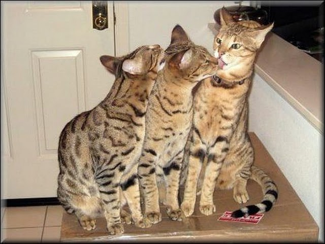 Savannah Cats Pets For Sale