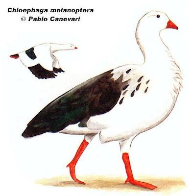 Guayata Chloephaga melanoptera