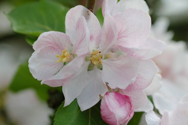 apple blossom,