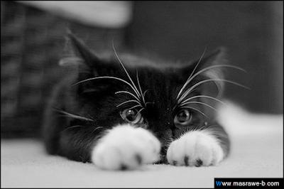 صور صور قطط كيوت 2020 خلفيات قطط جميلة جدا cats33.png