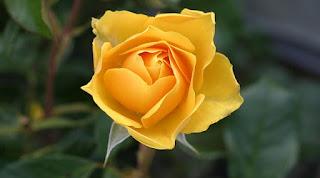 setangkai mawar kuning
