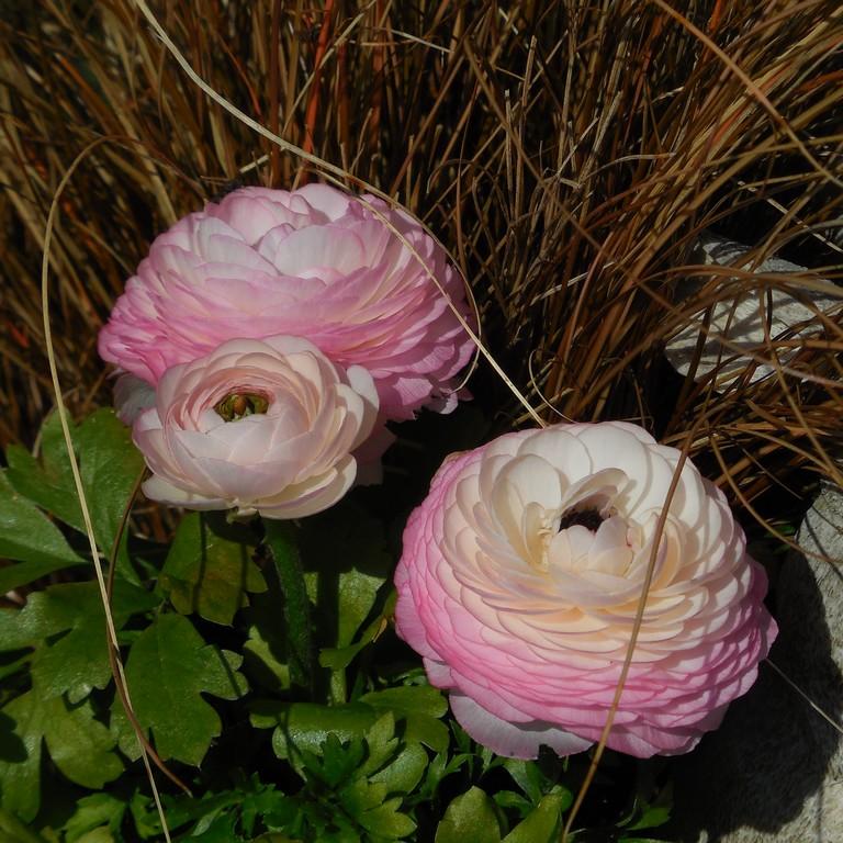 cagouille 39 s garden des fleurs des graines et des pousses. Black Bedroom Furniture Sets. Home Design Ideas