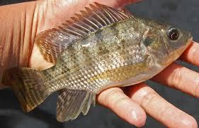 [Materi Ikan Nila Lengkap] Pengertian, Budidaya, Manfaat, Klasifikasi, dan Morfologinya