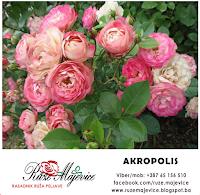 roze romanticna ruza akropolis