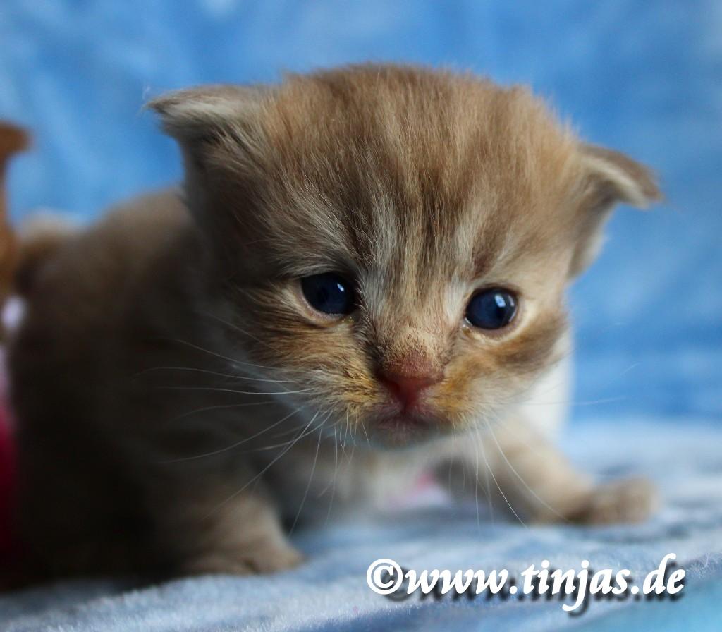 Britisch Kurzhaar Bkh Kitten Und Britisch Langhaar Katzenbabys 🐺 Highland Fold Kater Chen In