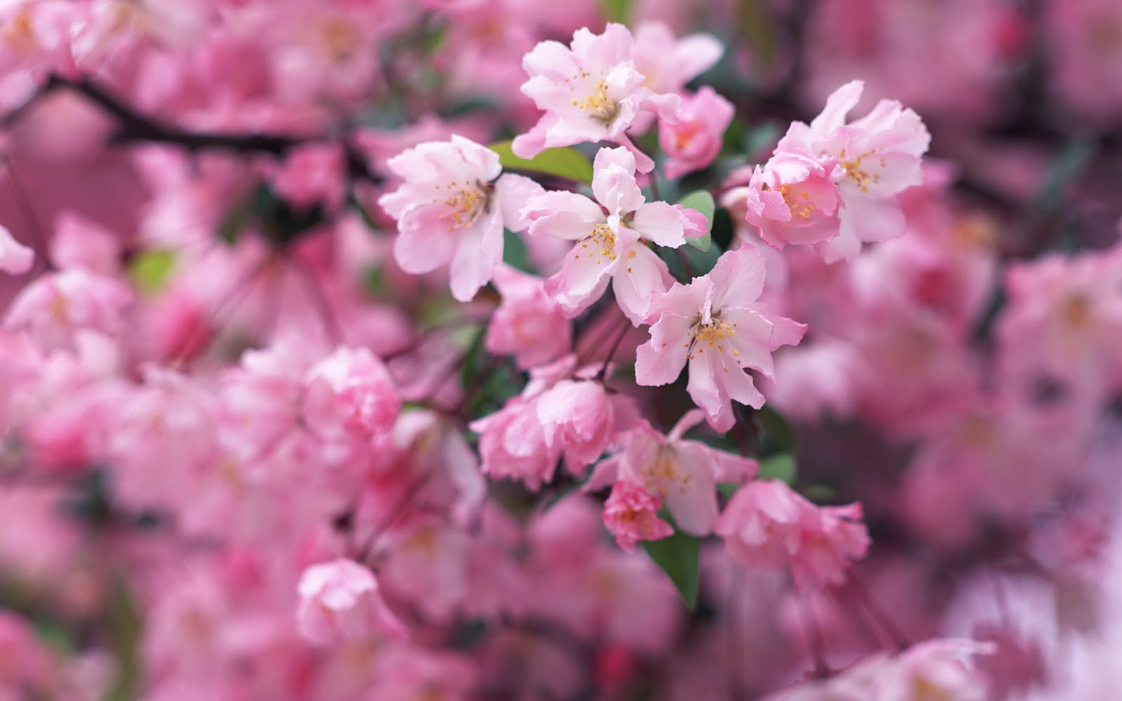 Wallpapers: Cherry blossom