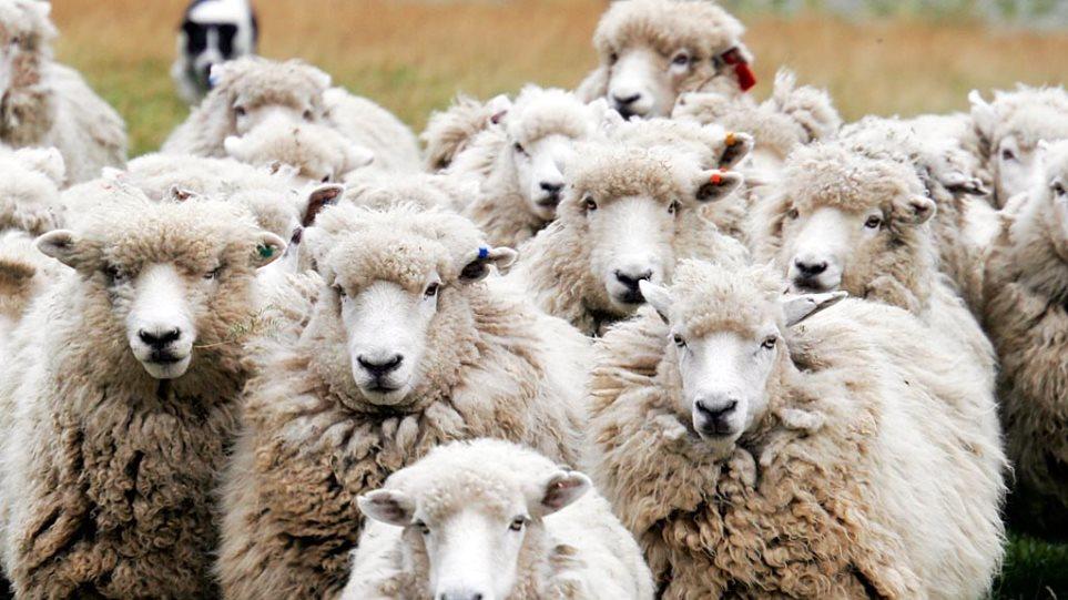 Έκλεψαν ολόκληρο κοπάδι πρόβατα λίγο πριν από το Πάσχα