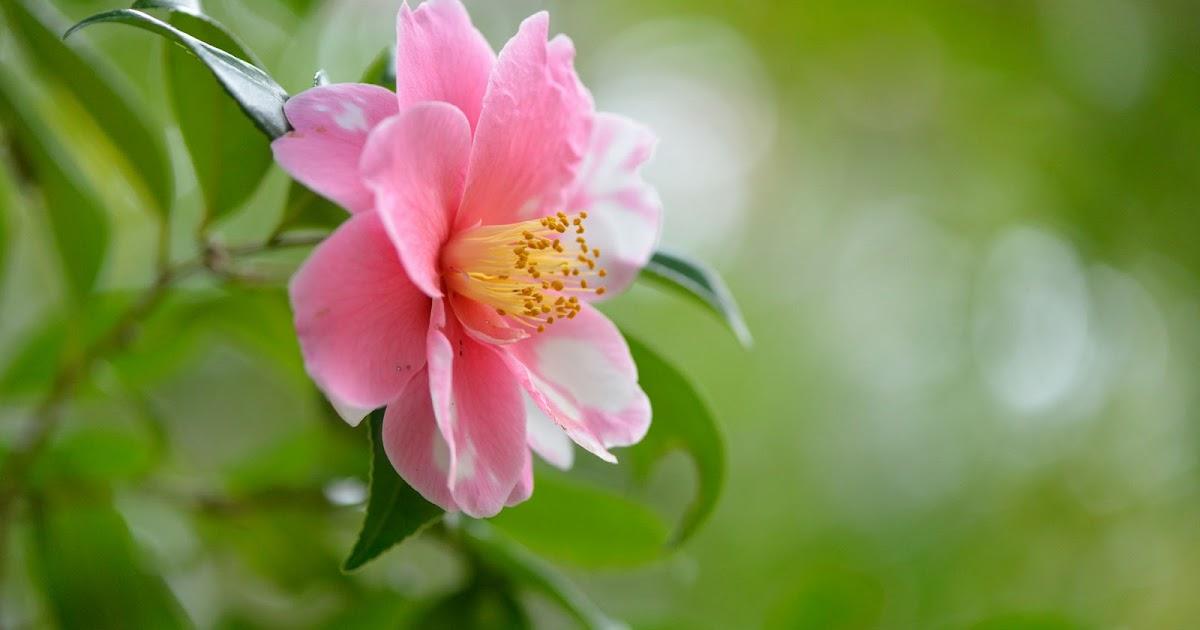 Imagenes Coloridas De Fondo: Fondo De Pantalla Flores Coloridas Rosa
