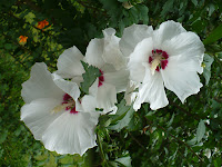 White rose of sharon flowers blooming in my garden