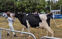 prize milking cow