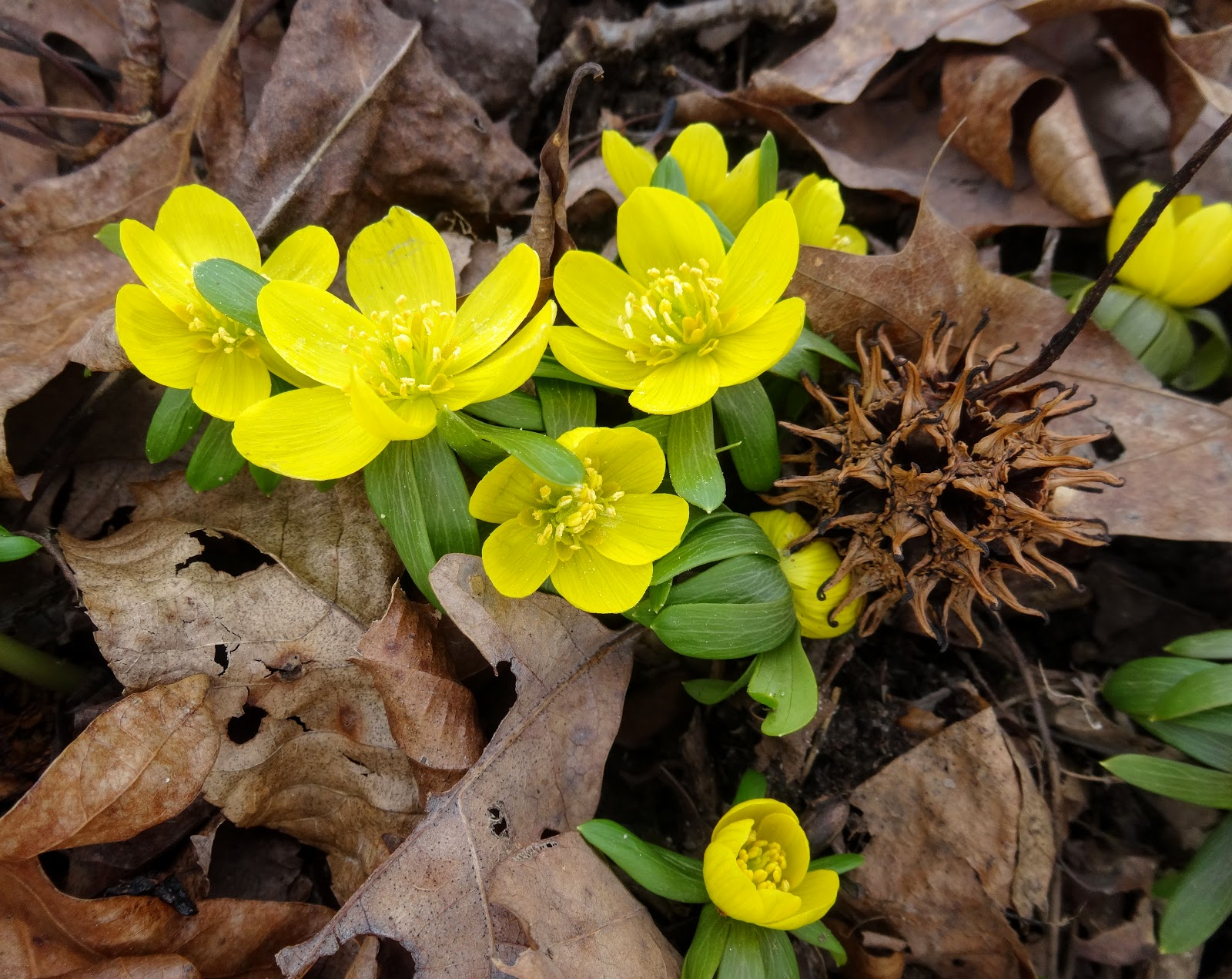 Love, Joy and Peas: First Flowers of Spring 2016!